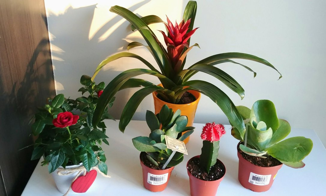 Succulents, Cactus, Bromeliads, Roses, Houseplants, Valentine's Gifts