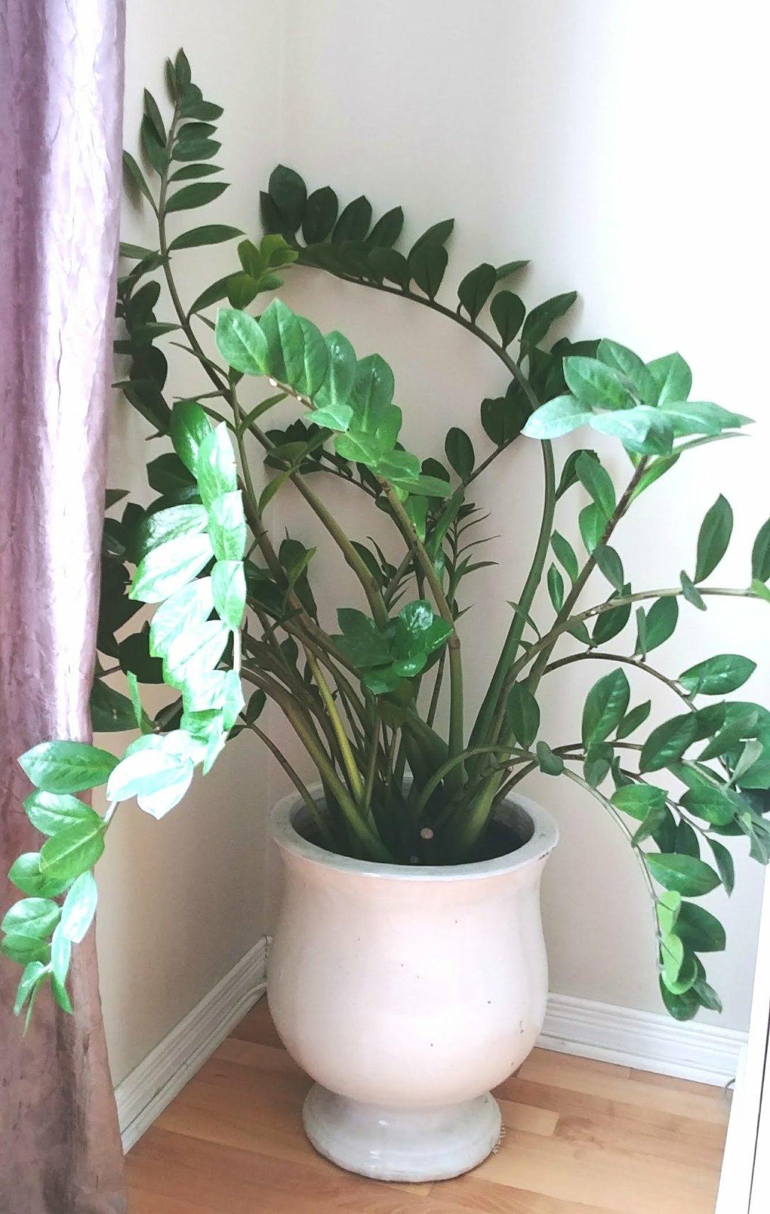 ZZ Plant, repotting,